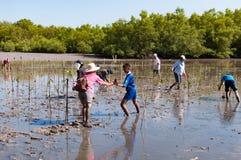 在沼泽附近的萨潘的义务种植年轻美洲红树树 免版税库存图片