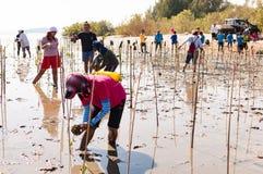 在沼泽附近的萨潘的义务种植年轻美洲红树树 免版税库存照片