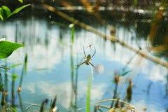在沼泽附近的蜘蛛 免版税库存照片