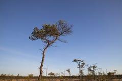 在沼泽,拉脱维亚的杉树 免版税图库摄影