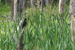 在沼泽Agelaius phoeniceus栖息的美洲红翼鸫 免版税库存照片