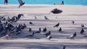 在沿海岸区的很多鸽子在慢动作的海附近 股票录像