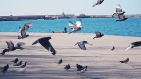 在沿海岸区的鸽子在慢动作的海附近 影视素材