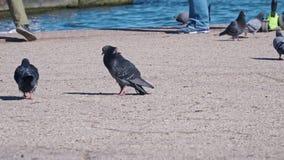 在沿海岸区的鸽子在海特写镜头附近 影视素材