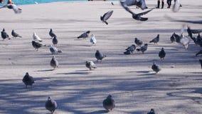 在沿海岸区的鸽子在5x慢动作的海洋附近 股票录像