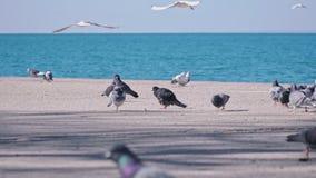 在沿海岸区的鸽子在5x慢动作的海洋附近 股票视频