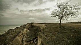在沿海的单独老树 免版税库存图片