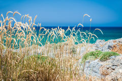 在沿海的野生小麦 免版税库存图片