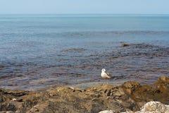 在沿海礁石的海鸥在风平浪静背景  图库摄影
