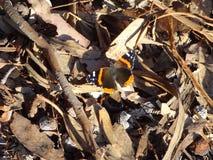 在沿海足迹的蝴蝶 库存照片