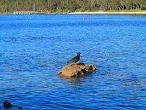 在沿海风景的煤烟灰蛎鹬鸟 免版税图库摄影