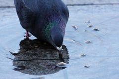 在泉水的鸽子 免版税库存图片