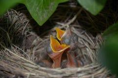 在法国夏时的小雏鸟 免版税库存图片