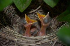 在法国夏时的小雏鸟 图库摄影