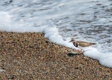 在法国海滩的翻石鹬在诺曼底 库存照片
