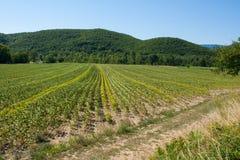 在法国的南部的一个领域在淡紫色收获之后的 免版税库存照片