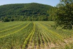 在法国的南部的一个领域在淡紫色收获之后的 免版税库存图片