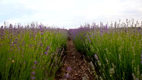 在法国的南部的淡紫色费尔德 影视素材