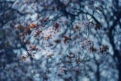 在泡影的樱桃bloosoms 图库摄影