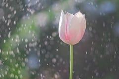 在泡影背景的浅粉红色的郁金香从水滴的 库存图片