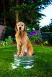 在泡末浴的湿狗 免版税库存照片