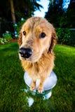 在泡末浴的湿狗 库存图片