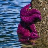 在波兰人的紫色海星 免版税图库摄影
