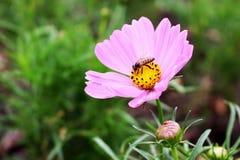 在波斯菊的大桃红色颜色的美丽的一只蜂在庭院里开花 库存图片