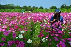 在波斯菊花田的妇女泰国画象在乡下Nakornratchasrima泰国 免版税库存照片