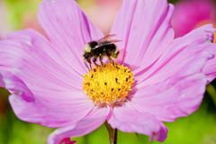 在波斯菊花的土蜂,俄勒冈,美国 库存图片
