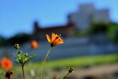 在波斯菊花的蜂 免版税库存图片