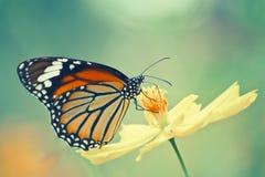 在波斯菊花的黑脉金斑蝶 免版税库存图片