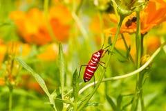在波斯菊花茎的红色臭虫 免版税图库摄影
