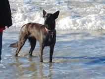 在波浪的一条狗 免版税库存照片