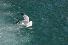 在波浪的海鸥 免版税库存图片