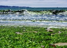 在波浪的海洋海藻 图库摄影