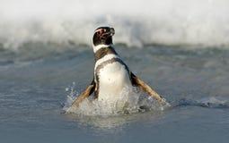 在波浪的鸟 企鹅在水中 在海波浪的鸟 在波浪的企鹅游泳 海鸟在水中 Magellanic pe 免版税图库摄影