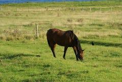 在波特兰,英国小岛的马  免版税库存图片