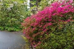 在波特兰` s克里斯特尔里弗杜鹃花的杜娟花从事园艺 免版税库存图片