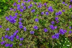 在波特兰` s克里斯特尔里弗杜鹃花的杜娟花从事园艺 库存照片