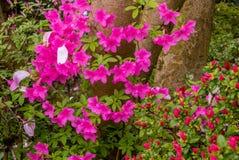 在波特兰` s克里斯特尔里弗杜鹃花的杜娟花从事园艺 库存图片