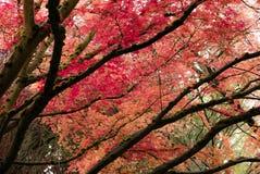 在波特兰` s克里斯特尔里弗杜鹃花G的鸡爪枫树 免版税库存照片