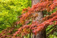 在波特兰` s克里斯特尔里弗杜鹃花G的鸡爪枫树 免版税库存图片