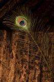 在波纹状的金属的唯一孔雀羽毛 免版税库存照片