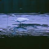 在波纹的白色白鹭 免版税库存照片