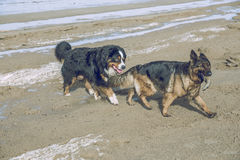 在波罗的海的两条狗 免版税图库摄影
