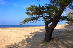 在波罗的海的沙丘的一棵杉树 库存图片