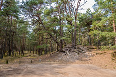 在波罗的海附近的杉树森林在Jurmala,拉脱维亚 免版税库存图片