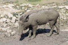 在泥地板上的婴孩野公猪 免版税库存图片
