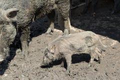 在泥地板上的婴孩野公猪 免版税库存照片